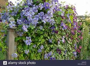 Clematis Viticella Sorten : clematis viticella etoile violette stockfotos clematis ~ Lizthompson.info Haus und Dekorationen