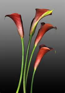 Red Calla Lily Flower