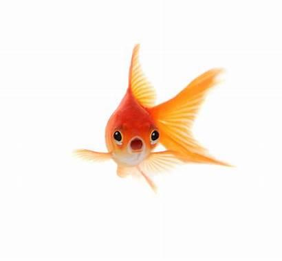 Goldfish Feed Animal Important Message Fish Face