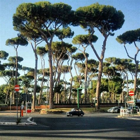 italian pine tree 96 best images about the pines of rome on 7609
