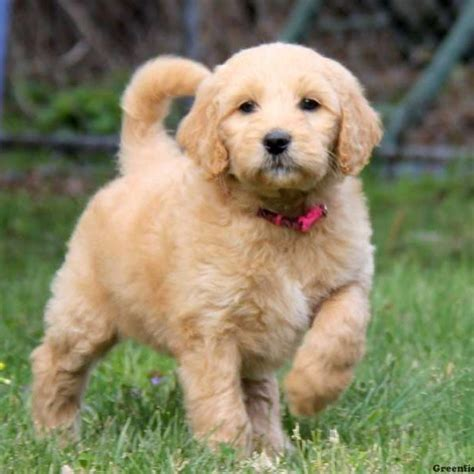 goldendoodle puppies  sale  pa greenfield puppies