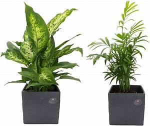 Palmen Kaufen Baumarkt : dominik zimmerpflanze palmen set h he 30 cm 2 pflanzen in dekot pfen online kaufen otto ~ Orissabook.com Haus und Dekorationen
