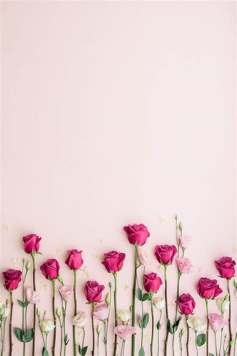 pink roses   pink background stocksy united