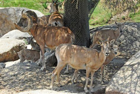 Desert Bighorn sheep (Ovis canadensis nelsoni) | The ...