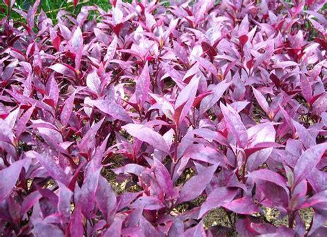 tanaman hias contoh tanaman hias tahan cuaca panas