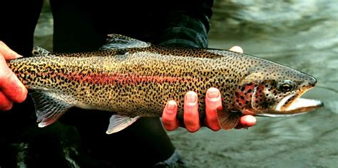 trout fishing tips techniques   catch trout