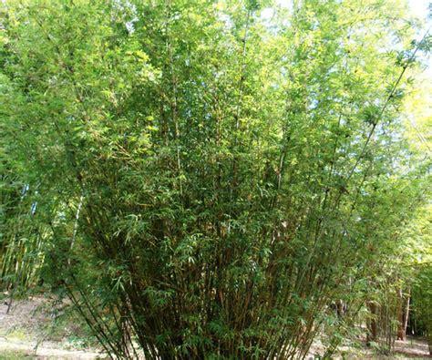 bamboo australia willowy bamboo
