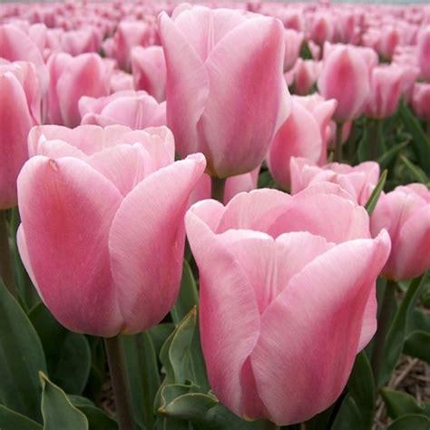 buy triumph tulip bulbs tulipa synaeda amor