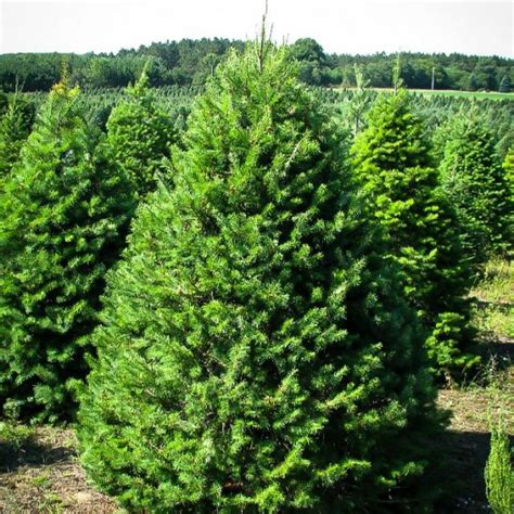 douglas fir  sale   tree center