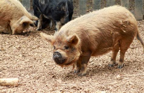 kunekune pig file kunekune pig at hamilton zoo jpg wikipedia