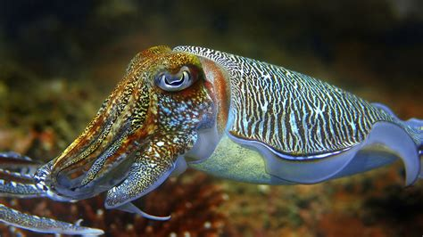 cuttlefish changing color cuttlefish chameleons of the sea blue network