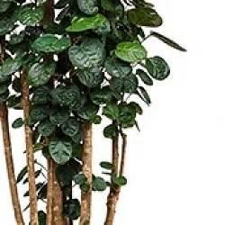 Pflege Von Zimmerpflanzen : aralie polyscias pflege ~ Markanthonyermac.com Haus und Dekorationen