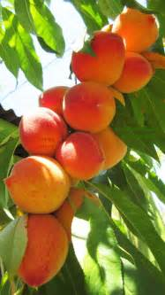 Peach Tree Fruit