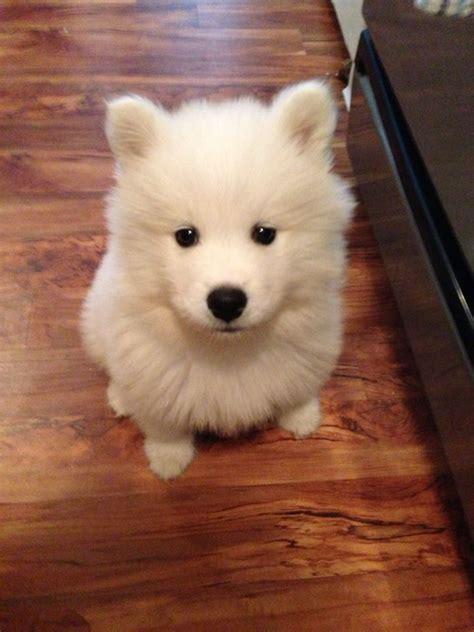 Samoyed Puppy Nugs Pinterest