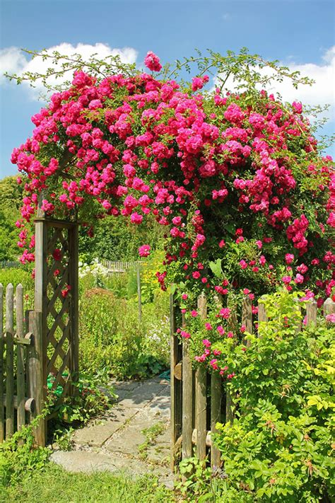 when to cut back climbing roses how to care for roses garden reader s digest