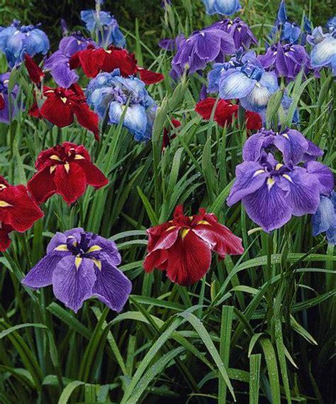 25 best ideas about japanese iris on iris