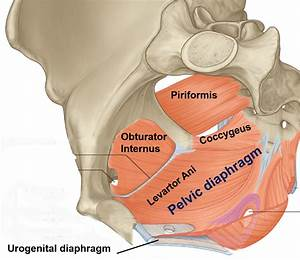 Muscles Of True Pelvis And Pelvic Diaphragm