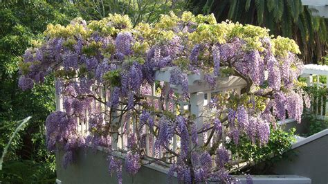 wisteria wallpapers hd  pixelstalknet