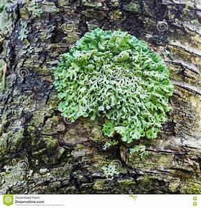 Comment Creuser Un Tronc D Arbre : lichen vert sur un tronc d 39 arbre image stock image du image couleur 75809281 ~ Melissatoandfro.com Idées de Décoration