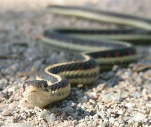 Animal Facts: Common garter snake | Canadian Geographic
