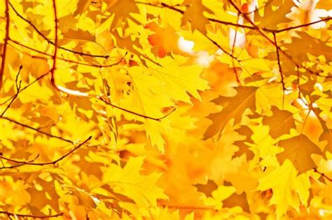 trees that turn yellow in fall 29 best images about wild gardens wilderness on pinterest cartoon straws and autumn
