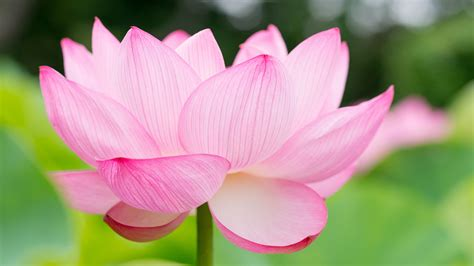 flower backgrounds lotus flower wallpapers pictures images