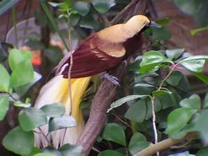 File:Paradisaea minor (Lesser Bird of Paradise).jpg ...