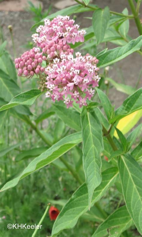 a wandering botanist where to buy milkweeds to grow in