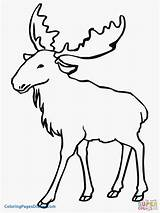 Moose Elk Coloring Pages Clipart Printable Drawing Animal Bull Outlines Line Eurasian Funny Animals Simple Drawings Cartoon Sheet Colouring Template sketch template
