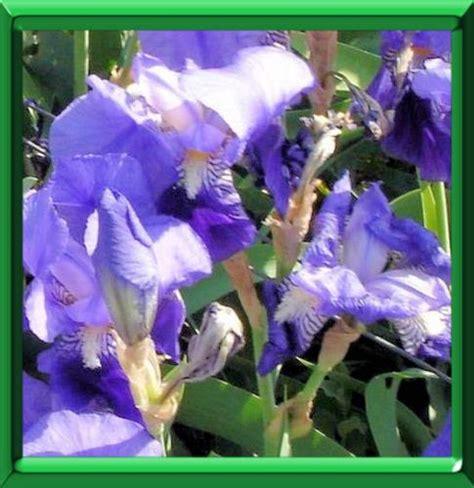 iris des jardins ou iris x hybrida ou iris x germanica