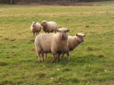 horloge sur pc bureau gratuit télécharger fonds d 39 écran mouton