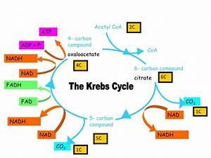 Ppt - Krebs Cycle Powerpoint Presentation
