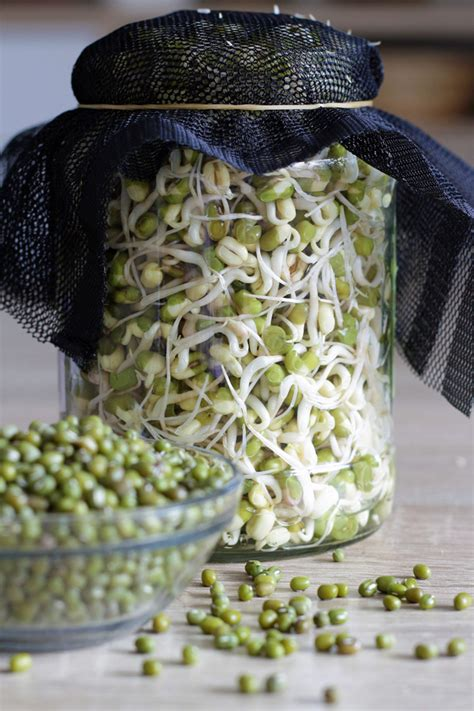 sprout mung beans   jar    days