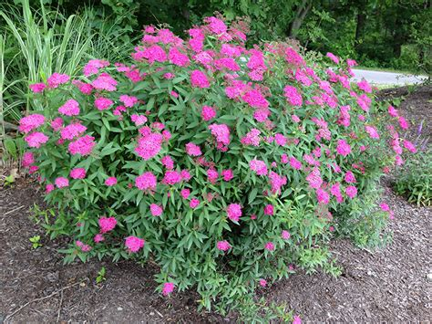 spirea plant anthony waterer spirea