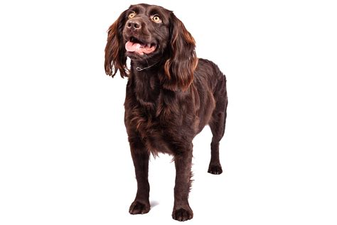 Do Boykin Spaniel Dogs Shed by Boykin Spaniel Puppies Breeders Rescue Facts