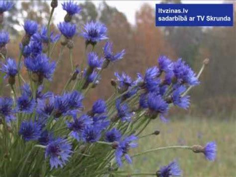 Skrundā uzziedējušas rudzupuķes - YouTube