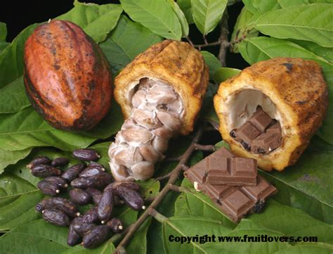 chocolate plants fruit tree descriptions