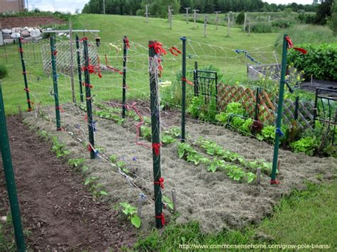 pole bean trellis grow pole beans for easy picking and preserving