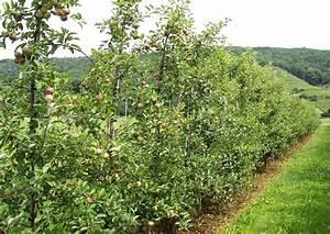 Apfelbaum Schneiden Sommer : obstgarten 02 apfelhecke apfelbaum auf hecke schneiden ~ Lizthompson.info Haus und Dekorationen