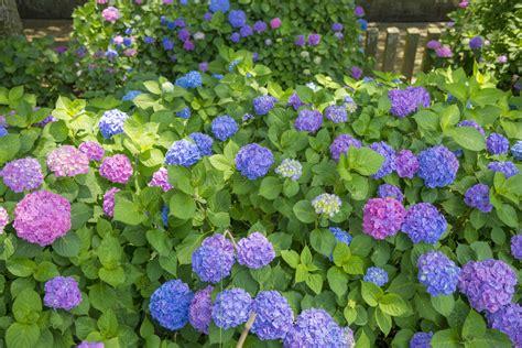 arbustes à fleurs arbuste pour massif liste ooreka