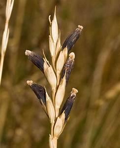 Claviceps Purpurea  U0026 39 Ergot Fungus U0026 39  On Wheat