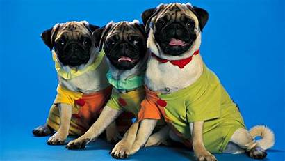 Pug Clothes Spanish Animal Pronouns Object Surely
