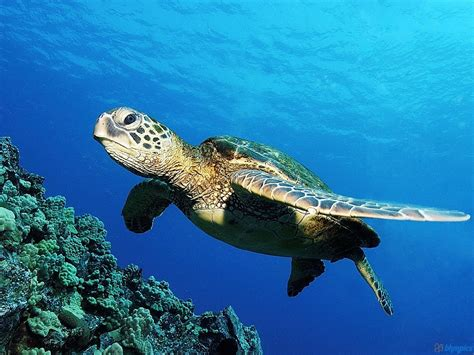 Green Sea Turtle Wallpapers High Definition Quality Baby