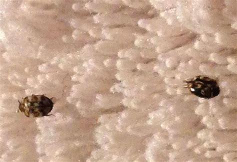 Carpet Beetle Photos