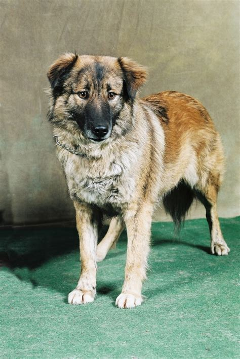 aidi dogs breeds molosoides  mountain dogs pets