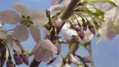 Blossom Cherry Giphy Spring Flowers Gifs March