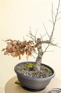 Bonsai Stecklinge Machen : die outdoor bonsai werden auf den winter vorbereitet ~ Indierocktalk.com Haus und Dekorationen