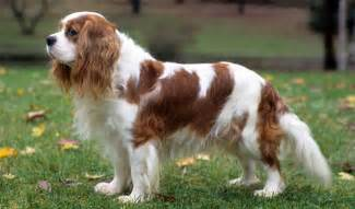 cavalier king charles spaniel breed information