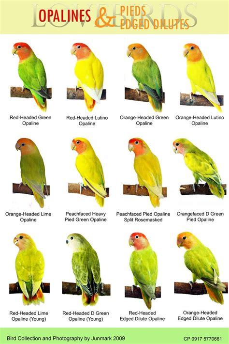 12 best images about lovebirds on pinterest love birds