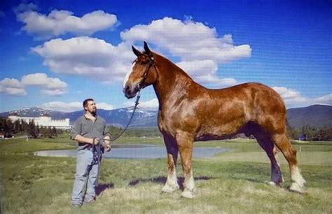 draft zeus horse belgian bade marnie via hands